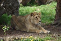 Asiatiskt lejon - Pantheraleo persica Arkivfoto