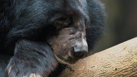 Asiatiskt sova för svart björn arkivfilmer