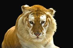 asiatiskt tigerbarn Arkivbild