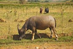 Asien-Büffel Stockfotografie