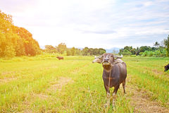 Asien-Büffel Stockfotos