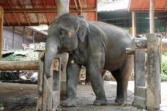 Asien-Babyelefant Stockbilder