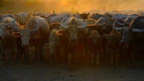 Asien buffel Arkivfoto