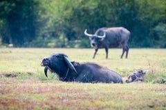 Asien buffel i gräsfält på Thailand Arkivfoton