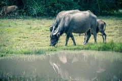 Asien buffel i gräsfält på Thailand Royaltyfri Fotografi