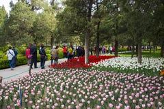 Asien China, Peking, Jingshan-Hügel-Park, Frühlingsgarten landscapeï ¼ ŒTulip-Festival Lizenzfreie Stockfotos
