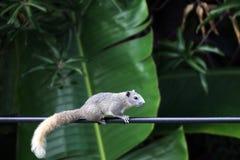 Asien-Eichhörnchen, Streifenhörnchenweg oder Lauflangsame Steigleistung zeichnet morgens stockfotografie