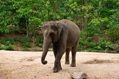 Asien elefant Arkivbild