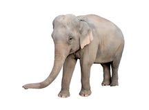 Asien elefant Arkivfoto