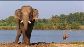Asien-Elefant auf dem Park stock video