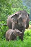 Asien-Elefantmutter und -schätzchen im Wald Stockbild