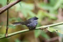 Asien fågel Arkivbilder