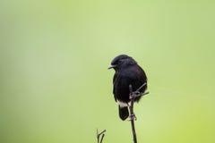 Asien fågel Arkivfoto