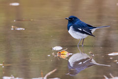 Asien fågel Fotografering för Bildbyråer