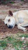 Asien-Hund Lizenzfreie Stockfotografie