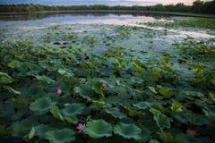 Asien Kina, Peking, gammal sommarslott, lotusblommadamm Royaltyfria Bilder