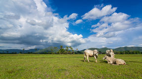 Asien kor på grönt fält och trevlig himmel Arkivfoton