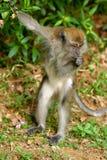 Asien lösa apor som äter mat fotografering för bildbyråer
