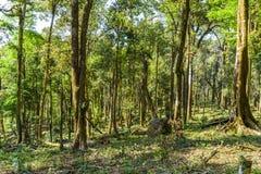 Asien rainforest med det stora trädet arkivbild