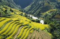 Asien risfält, genom att skörda säsong i området för Mu Cang Chai, Yen Bai, Vietnam Terrasserade risfältfält används brett i ris, arkivbild