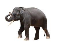 Asien-siamesischer Elefant getrennt lizenzfreie stockbilder
