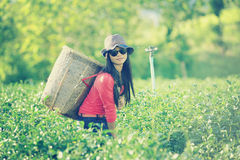 Asien-Teefrauen, die Teeblätter in der Plantage auswählen Lizenzfreie Stockbilder