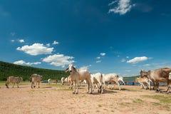 Asien-Vieh und bewölkter Himmel, Gruppe Kühe Lizenzfreie Stockbilder
