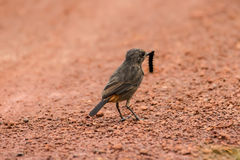 Asien-Vogel Lizenzfreie Stockbilder