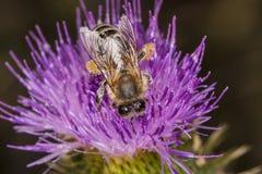 Asiento de la abeja en la flor Imágenes de archivo libres de regalías