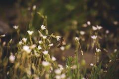Asiento de la abeja en la flor blanca de la primavera Imagen de archivo libre de regalías