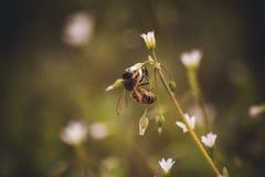 Asiento de la abeja en la flor blanca de la primavera Fotografía de archivo libre de regalías
