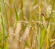 Asiento de la libélula en un arroz Fotos de archivo libres de regalías