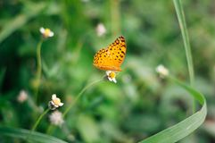 Asiento de la mariposa en la flor salvaje blanca de la primavera en el seaso lluvioso imagenes de archivo