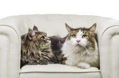 Asiento del gato de Maine Coon de los pares en la derecha blanca de la mirada del primer del sofá Imagen de archivo libre de regalías
