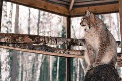 Asiento del lince en un árbol en jaula Fotos de archivo
