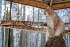 Asiento del lince en un árbol en jaula Imagenes de archivo