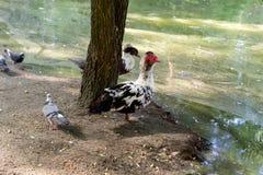 Asiento del pato silvestre de tres patos salvajes en la arena cerca del lago en la sombra de árboles foto de archivo