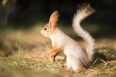 Asiento lindo de la ardilla en hierba en el parque, más forrest en el día soleado Foto de archivo