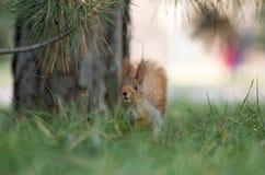 Asiento lindo de la ardilla en hierba en el parque, más forrest en el día soleado Fotografía de archivo libre de regalías