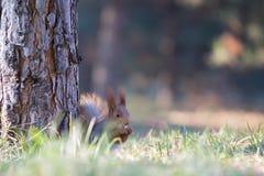 Asiento lindo de la ardilla en hierba en el parque, más forrest en el día soleado fotos de archivo libres de regalías