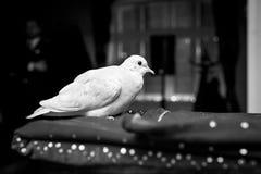 Asientos blancos autoguiados hacia el blanco de la paloma en la jaula imagenes de archivo