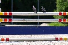Asientos de la paloma en una barrera en el evento de salto de la demostración Fotografía de archivo libre de regalías