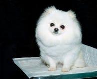 Asientos de Pomeranian Fotografía de archivo