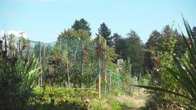 Asignación del jardín en verano tardío antes de la cosecha almacen de metraje de vídeo