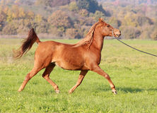 Asil Arabian brood mare Stock Photography