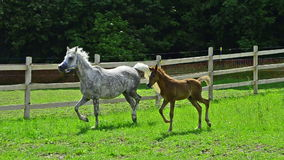 Asil Arabian mare and foals galloping and trotting stock video footage
