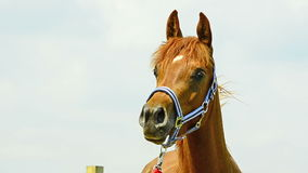 Asil Arabian mare portrait. Asil Arabian mare looking watchful around stock footage