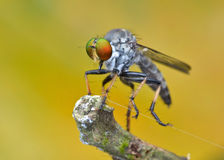 Asilidae - η μύγα ληστών Στοκ φωτογραφίες με δικαίωμα ελεύθερης χρήσης