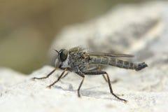 Asilidae. The close-up of an asilidae Stock Photo