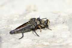 Asilidae. The asilidae caught a bee Stock Photo